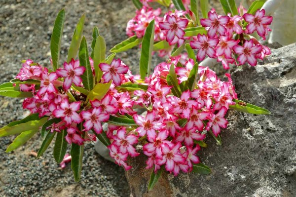 Adenium Somalense / Wüstenrose