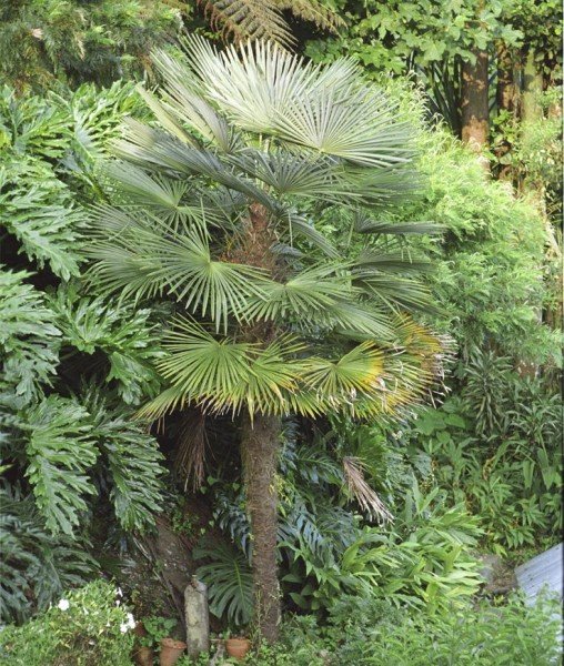Trachycarpus fortunei / Chinesische Hanfpalme / Tessinerpalme