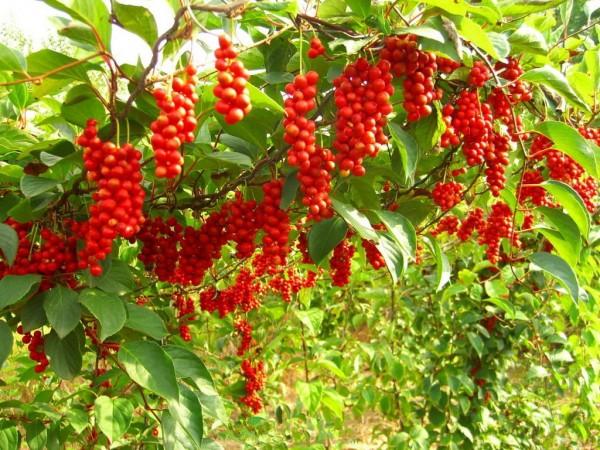 Schisandra chinensis / Chinenischer Magnolienwein