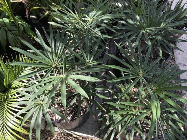 Coccothrinax acuminata / Kubanische Silberpalme