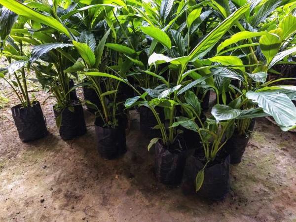 Elettaria cardamomum / Kardamompflanzen