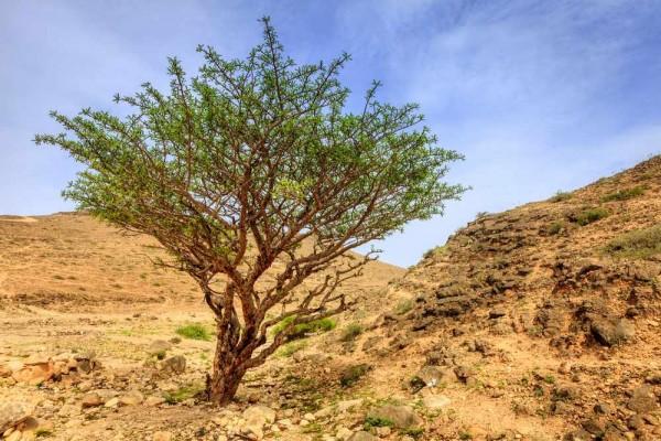 Boswellia sacra / Arabischer Weihrauchsbaum