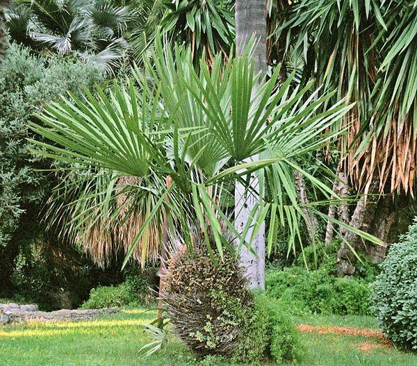 Rhapidophyllum hystrix / Nadelpalme