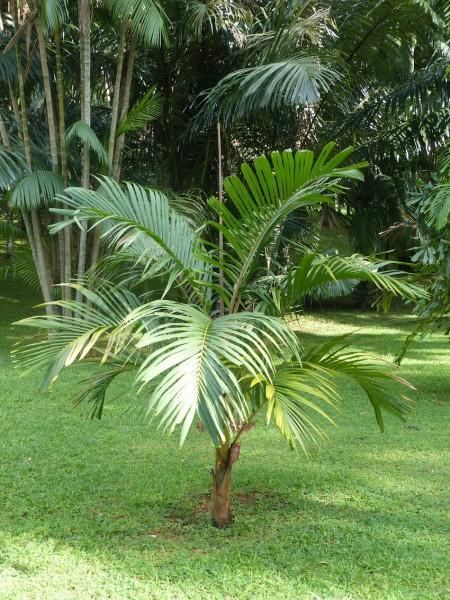 Loxococcus rupicola / Dotalu Palm