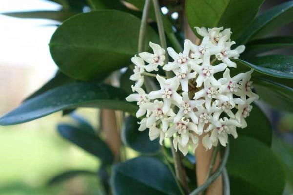 Hoya australis / Wachsblume