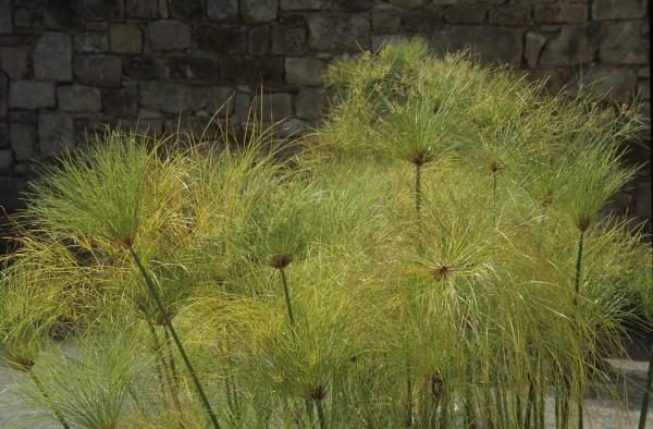 Cyperus papyrus / Zyperngras