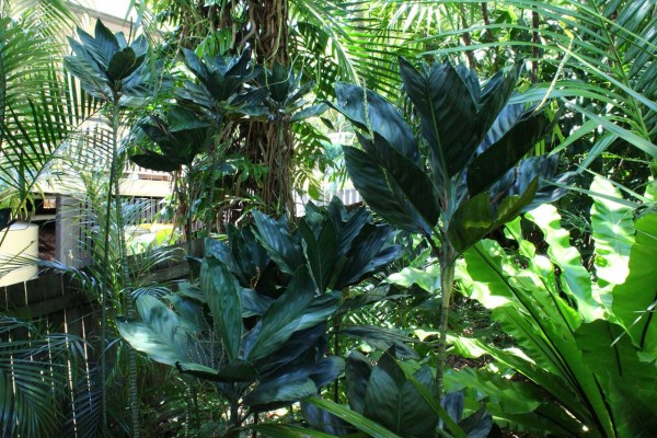 Chamaedorea metallica Pflanze 140cm