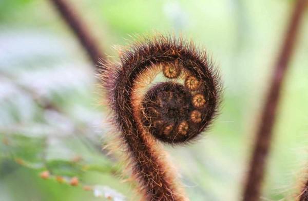 Dryopteris wallichiana / Nepalesischer Schwarzschuppenfarn