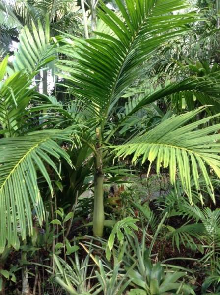 Pinanga batanensis / Batan Palme