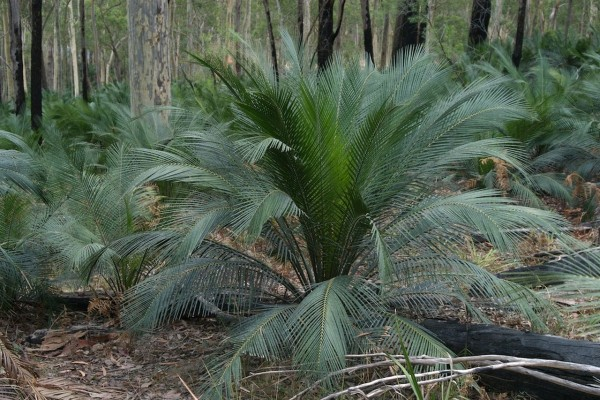 Macrozamia communis / Palmfarn