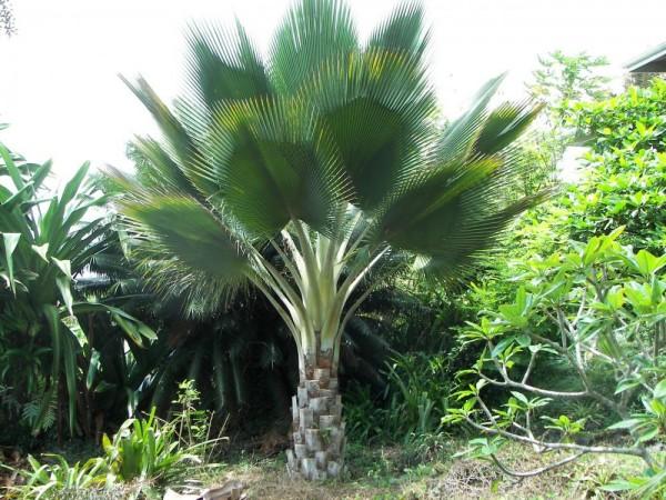 Copernicia fallaensis / Giant Yarey Palm