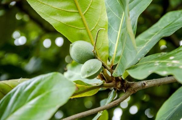 Terminalia catappa / Indischer Mandelbaum