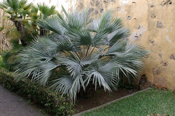 Brahea armata / Blaue Hesperidenpalme Pflanze