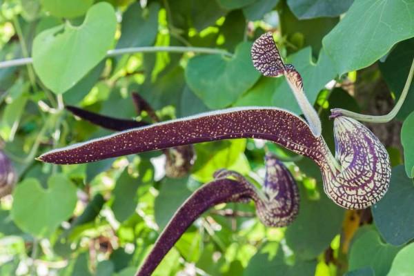 Aristolochia ringens / Pelikanblume
