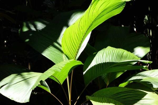 Phoenicophorium borsigianum / Borsig-Palme