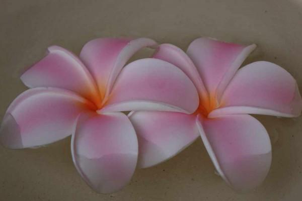 Schwimmblüte Plumeria rosa-weiss-orange Nr. 28