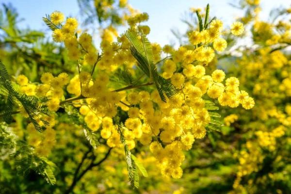 Acacia dealbata / Silberakazie