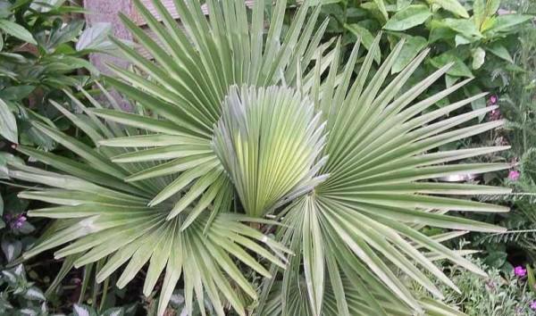 Trachycarpus princeps / Marmor-Hanfpalme