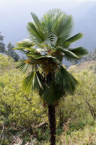Trachycarpus takil / Kumaon-Hanfpalme