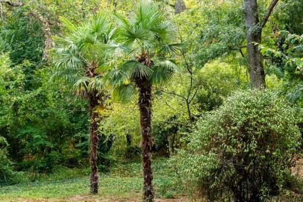 Trachycarpus fortunei / Tessinerpalme
