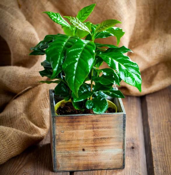 Coffea arabica / Kaffeestrauch
