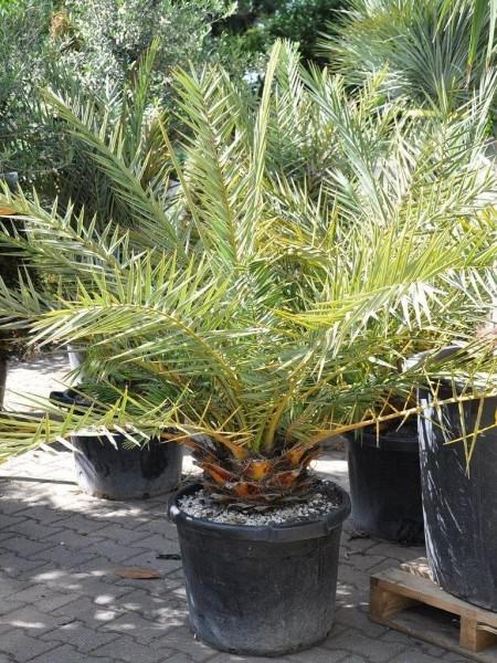 Phoenix theophrastii / Kretische Dattelpalme Palme