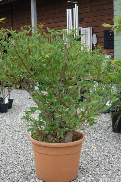 Erythrina crista galli / Korallenstrauch Baum