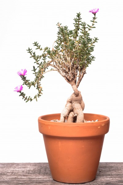 Trichodiadema bulbosum / Africa Bonsai / Kaudex