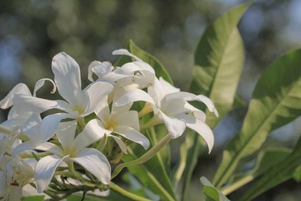 Plumeria Sericifolia / Frangipani