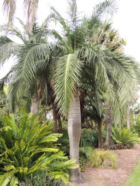 Pseudophoenix vinifera / Hispaniola-Weinpalme