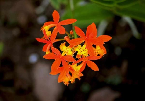 Epidendrum radicans / Crucifix Orchid