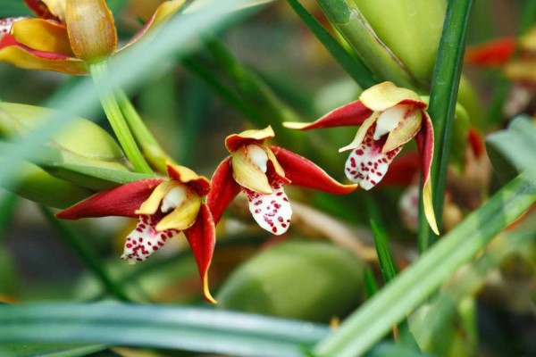 Maxillaria tenuifolia / Kokosorchidee