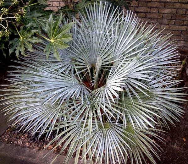 Chamaerops humilis var. cerifera / Blaue Zwergpalme Pflanze