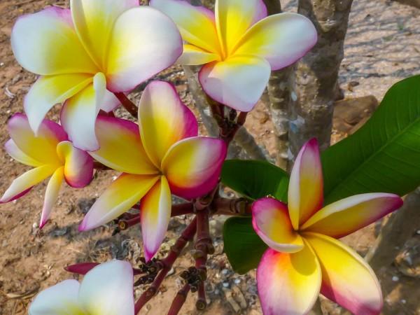 Plumeria Incognito / Frangipani