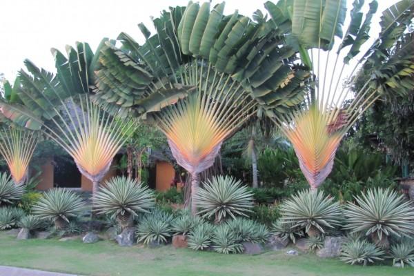Ravenala madagascariensis / Baum der Reisenden