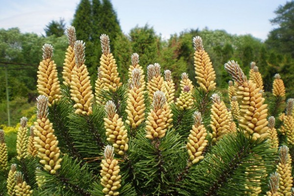 Pinus mugo pumilio / Zwerg-Kiefer