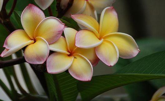 Plumeria Rainbow Ribbon / Frangipani
