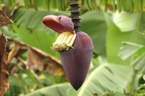 Musa acuminata / Zwergbanane
