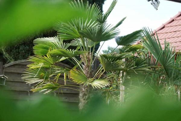 Trachycarpus fortunei / Tessinerpalme Pflanze