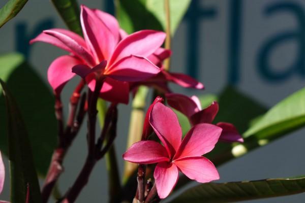 Plumeria Red Jack / Frangipani