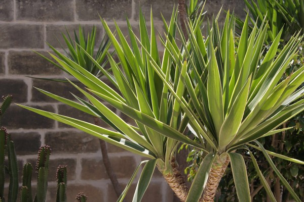 Yucca elephantipes / Riesen-Yucca