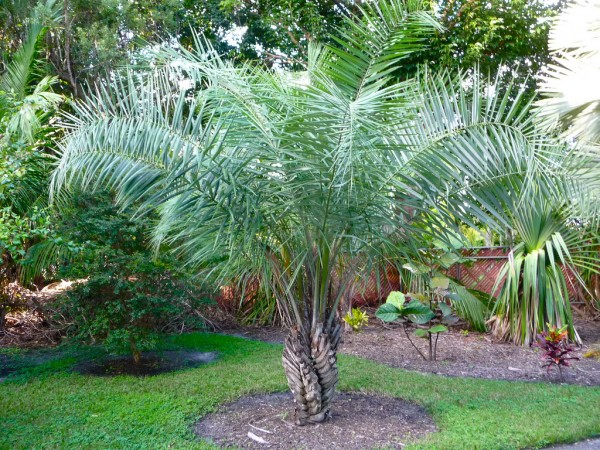 Syagrus coronata / Licuri-Palme