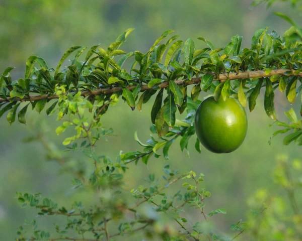 Crescentia cujete / Kalebassenbaum / Calabash Tree