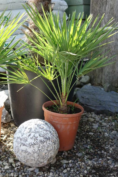 Chamaerops humilis / Zwergpalme einstämmig Pflanze