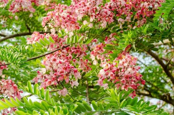 Cassia renigera / Burmese Pink Cassia