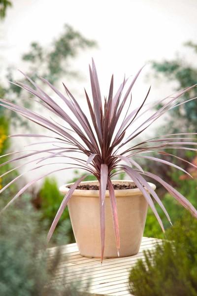 Cordyline australis Purpurea / Keulenlilie