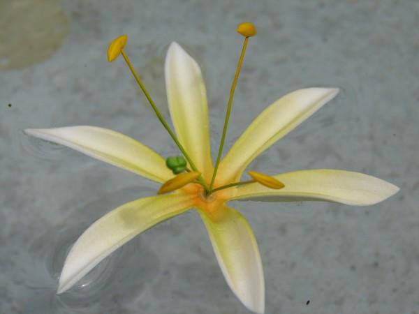 Schwimmblüte Lilie weiss-gelb