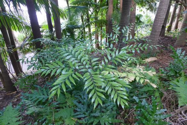 Bowenia spectabilis / Palmfarn
