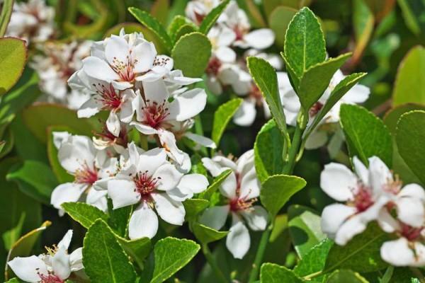Rhaphiolepis umbellata rosa / Japanischer Traubenapfel
