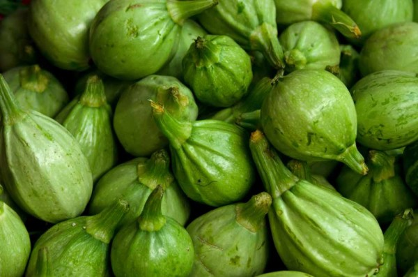 Carica cnidoscoloides / Stinging Papaya
